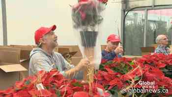 Poinsettia campaign underway at Vaudreuil-Soulanges Palliative Care Residence