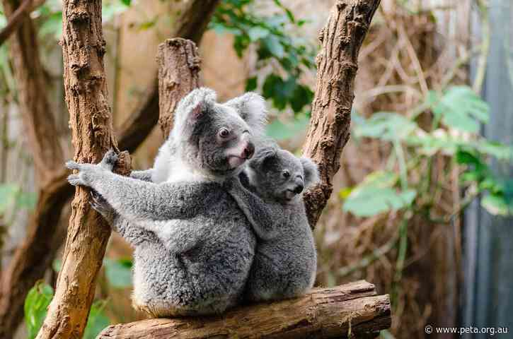 How to Help Koalas and Other Australian Animals Affected by Bushfires