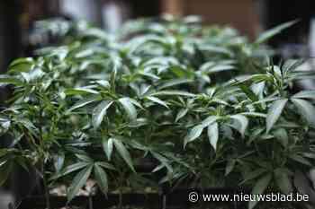 Wietgeur op straat verraadt plantage met 1.100 planten: teler riskeert 18 maanden