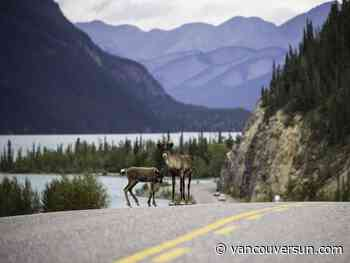 Caribou habitat restoration may be ineffective in the short term, says UBC study