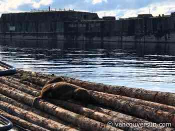 Sea lion rescued in Powell River suffered for weeks after being hit by crossbow