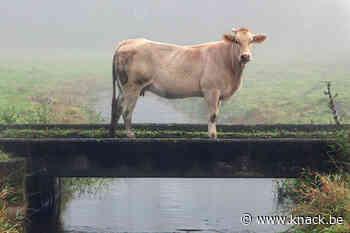 Koeien maken de bodem giftig