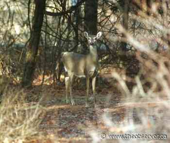 Pinery Park deer herd reduced by First Nation hunters