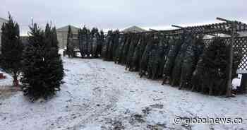Edmonton business feels ripple effect of Christmas tree shortage
