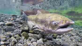 Big Bar landslide could mean extinction for B.C. salmon runs