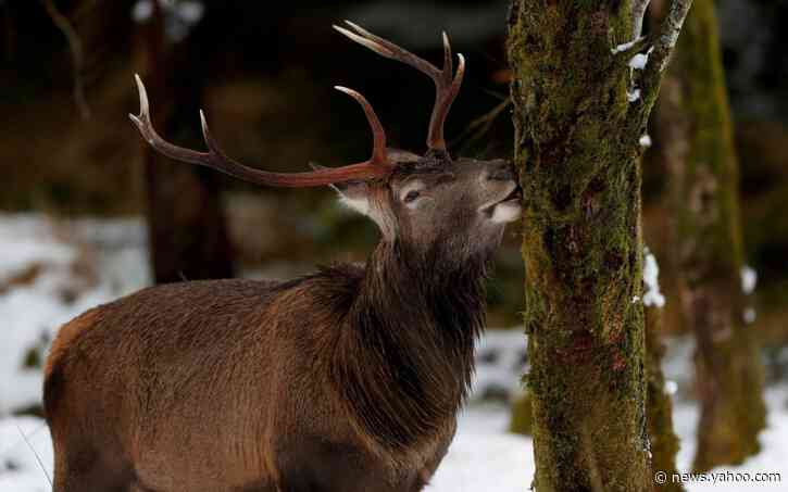 Scotland's red deer population being brought under control thanks to surge in culling