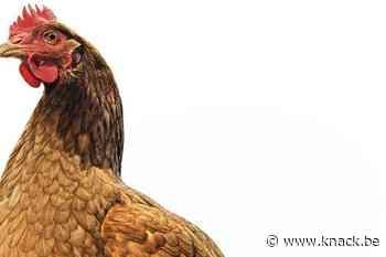 Dieren zijn slimmer dan we denken: waarom kippen elkaar kunnen belazeren (en octopussen kunnen dromen)