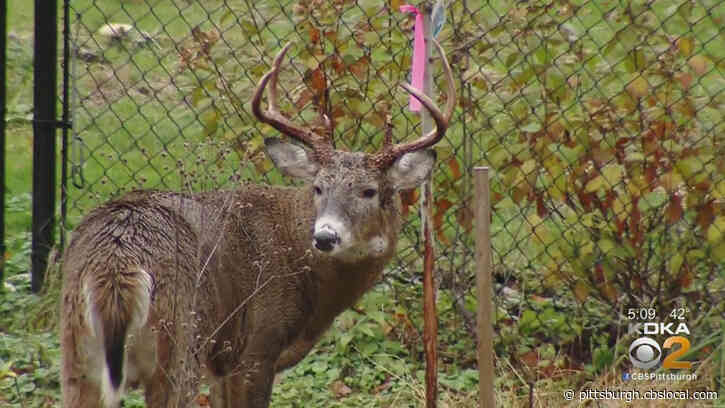 Game Commission Investigates Disturbing Social Video Of Alleged Deer Assault