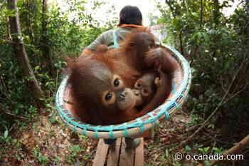 On Orangutan Jungle School, Borneo sanctuary rescues endangered primates