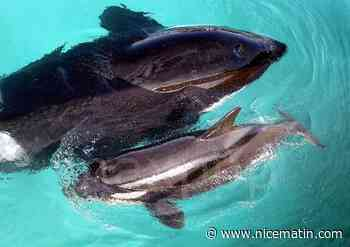 VIDÉO. Quatre orques filmées à quelques kilomètres de la Côte d'Azur en Italie