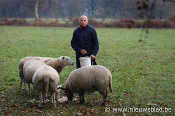 Pitbull bijt dertien drachtige ooien dood in weide in Zonhoven