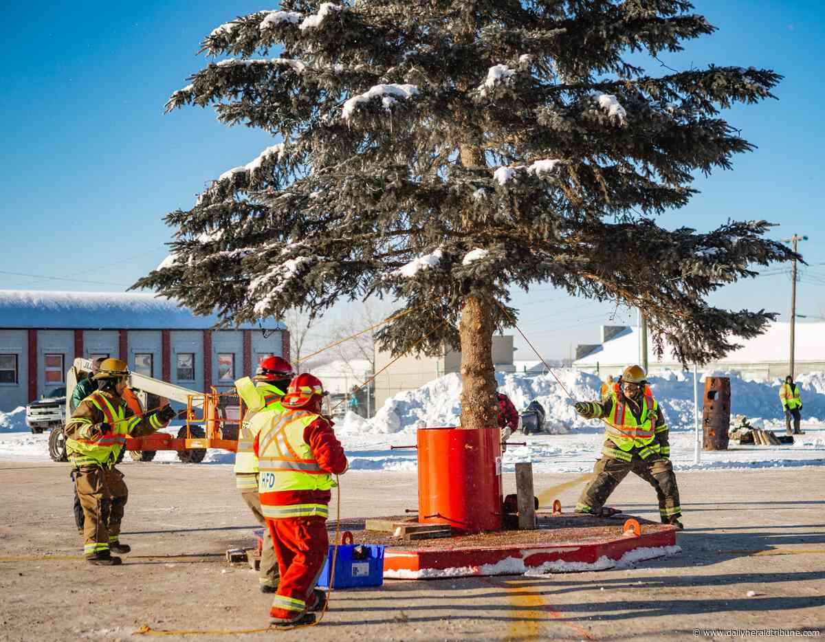 Photos: Just dropping in, Hythe air-drops 41-foot tree for Christmas