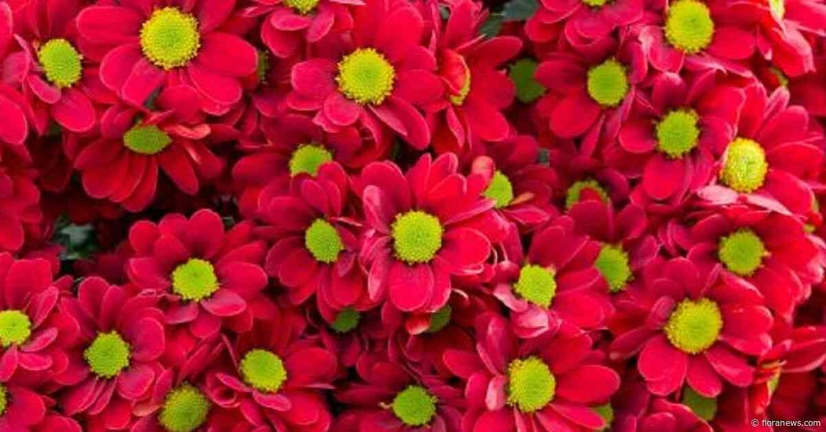 Betere prijzen voor snijbloemen en kamerplanten in november dan vorig jaar