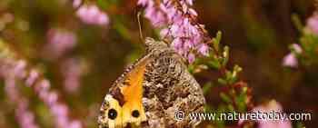 Stikstof verandert soortengemeenschappen van vlinders en bijen