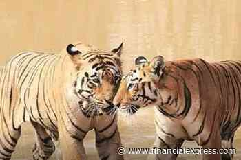 Tiger walks 1,300 kms unnoticed! Quest for new territory and mates?