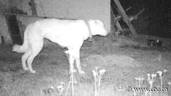 Missing dog spotted on surveillance video after living in wild for 8 months