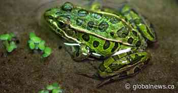 Edmonton Valley Zoo working to save endangered frogs in British Columbia