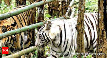 When stranded tourists saw tigers getting closer