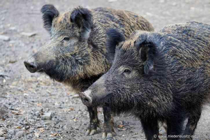 Fälle Afrikanischer Schweinepest in Westpolen bestätigt. Sachsen probt Ernstfall