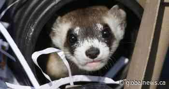 Man accused of throwing 'a pair of ferrets' at cars in vandalism spree