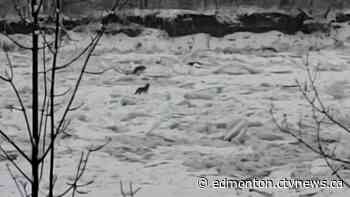 Video shows coyote pack stranded on moving ice on North Saskatchewan River