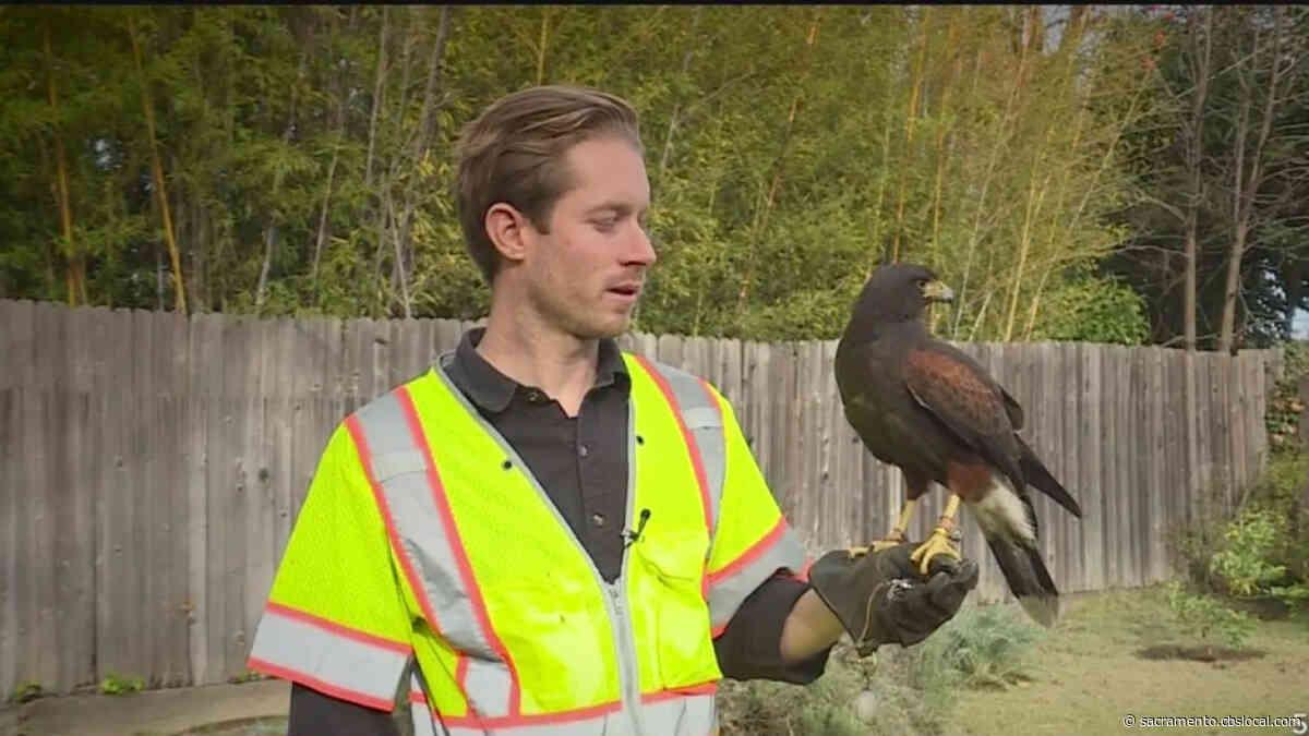 Downtown Sacramento Partnership To Use Hawks To Rid Murders Of Crows On K Street