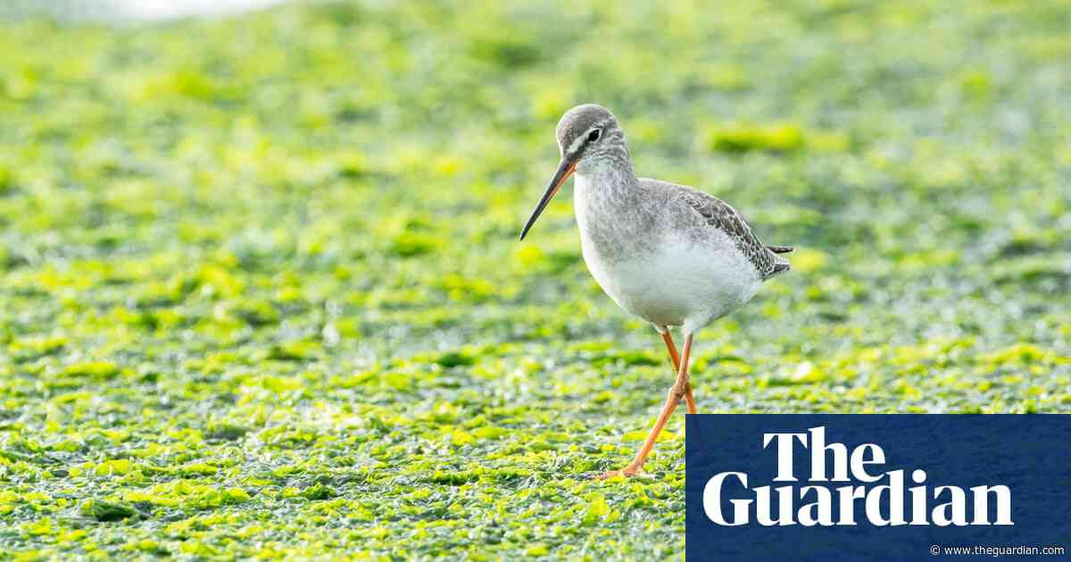 Country diary: this elegant wader has become a local celebrity