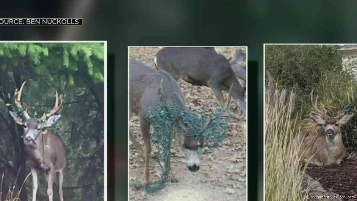 Deer Are Running Away With Christmas Lights In El Dorado County
