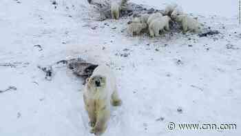 Polar bears crowd Russian village for food
