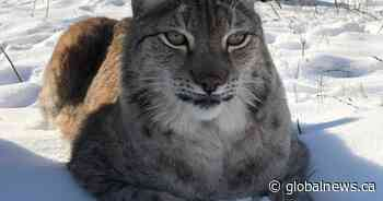 Peterborough zoo introduces new Eurasian lynx