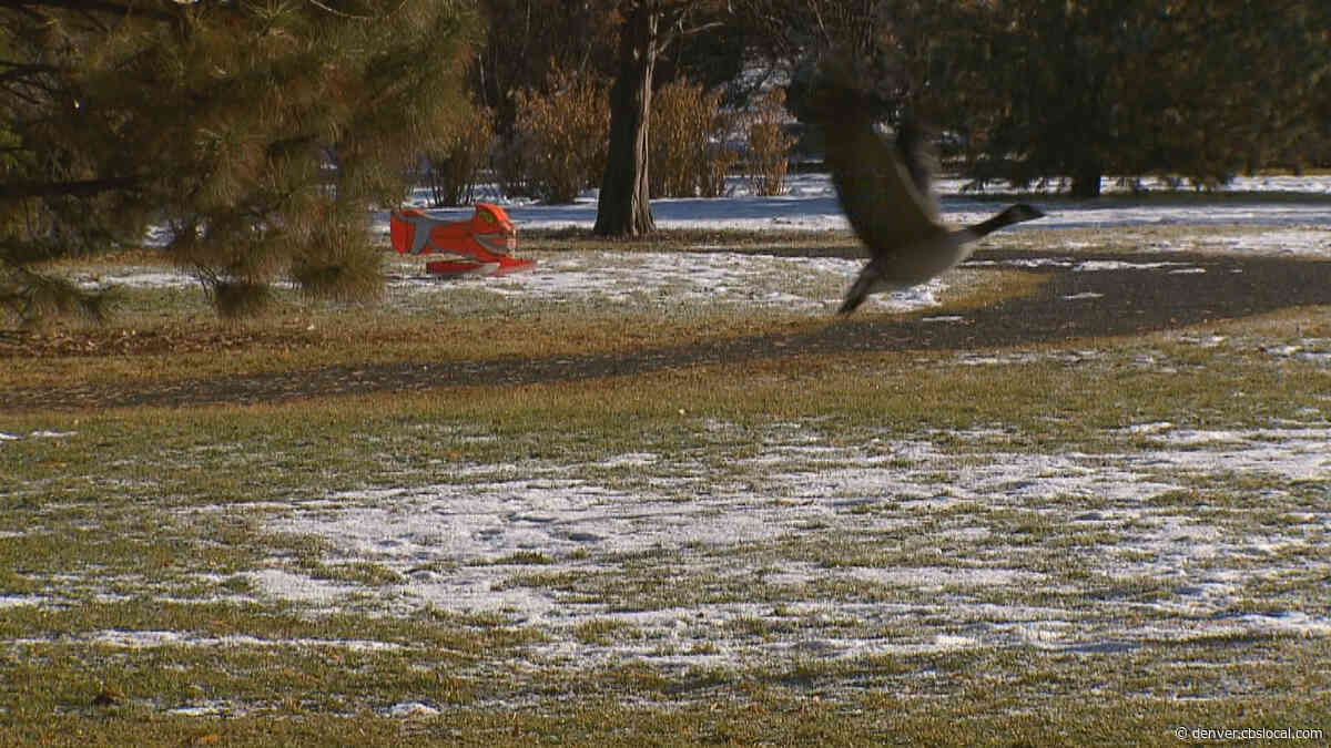 Goose Chase: Denver Uses 'Goosinator' To Scare Geese Out Of Parks
