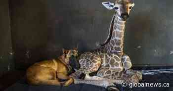 First abandoned by his mother, then befriended by a concerned dog: Jazz the baby giraffe has died