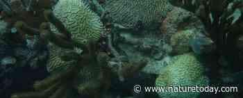 Beheerupdate aanpak dodelijke koraalziekte Caribisch Nederland