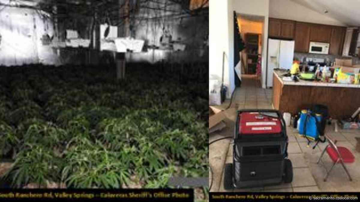 More Than 2,500 Pot Plants Seized From Calaveras County Illegal Marijuana Grow
