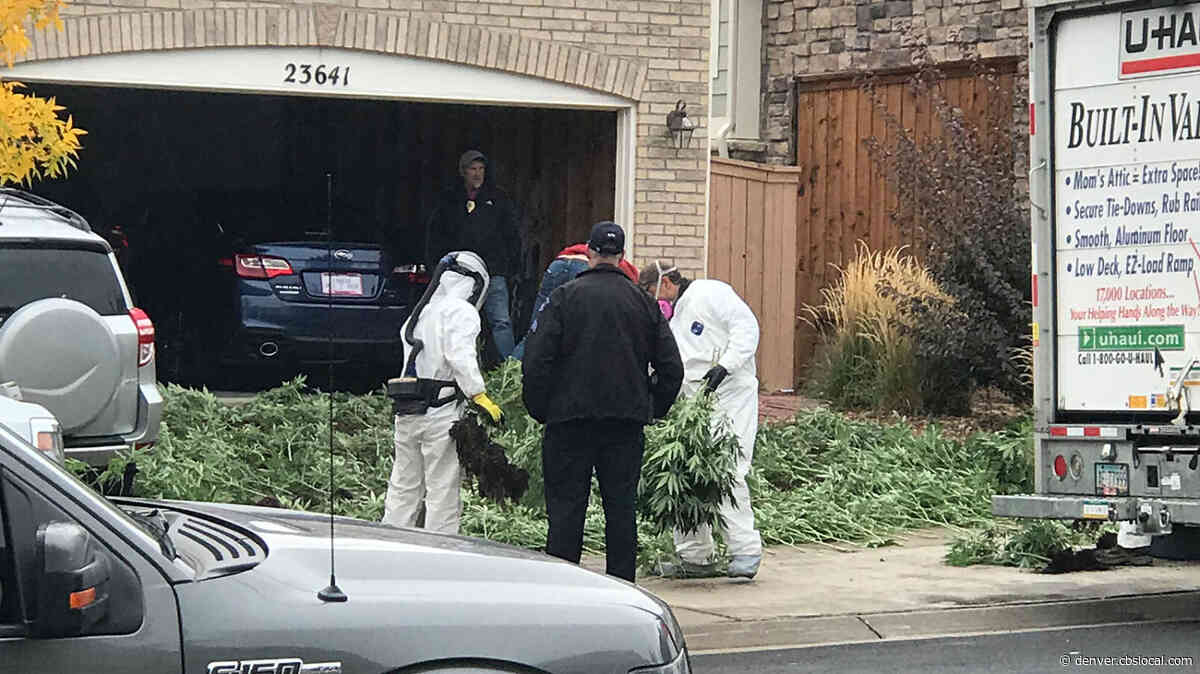 Husband & Wife Convicted Of Illegal Pot Grow In Aurora Basement
