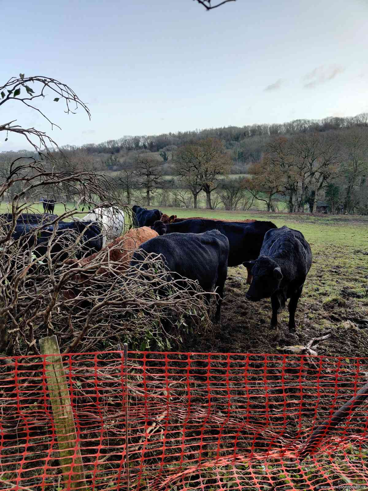Bromley Police called after fallen tree lets cows roam the streets of Biggin Hill