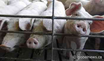 Animal activists arrested at Quebec pork facility vow to continue fight