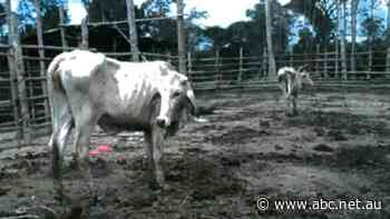 Disturbing pictures show fate of Australian cattle sold to Indonesian Government