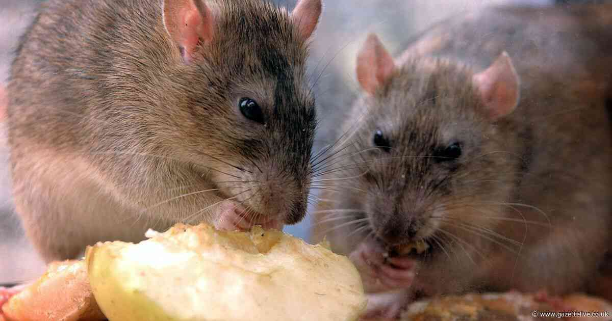 Cause of 'plague of rats' demolishing crops on village allotments remains unknown