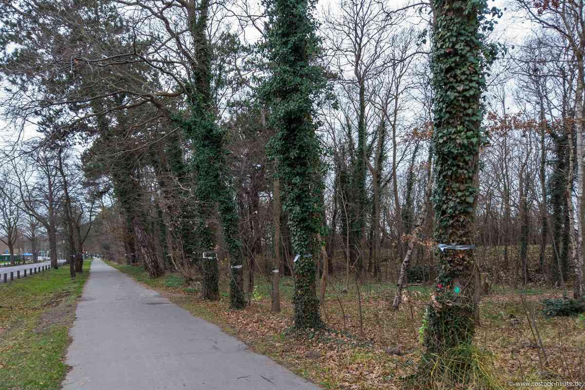 Im Warnemünder Küstenschutzwald wird gegen die geplante Fällung von 120 Bäumen für den neuen Radweg in der Parkstraße protestiert