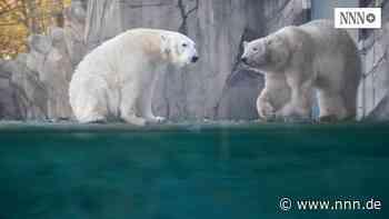 Eisbärin Sizzel zieht sich zurück – ist sie trächtig?
