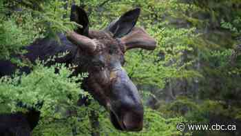 Moose poacher gets lifetime hunting ban, jail term and $54,000 fine