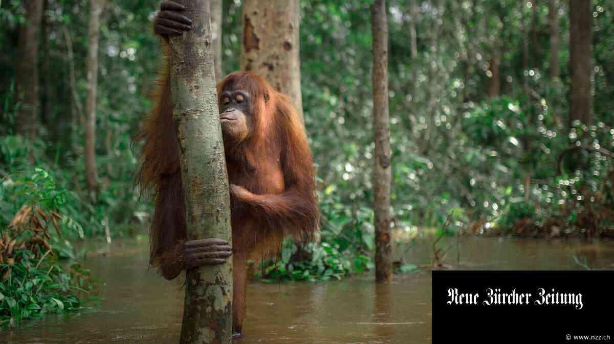 «We are the forest»: die besten Tierbilder aus Borneo