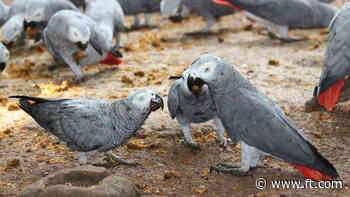 Saving the African grey parrot: battle to beat the smugglers