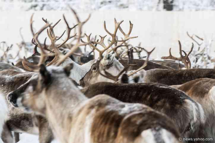 In Sweden's Arctic, global warming threatens reindeer herds