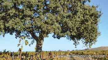 What Oak Trees Mean to the Health of Vineyards