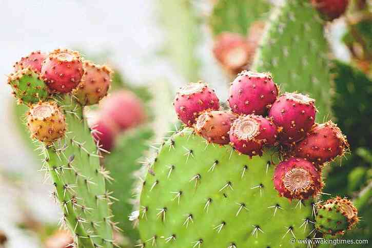Mexican Inventors Create Eco-Friendly Leather Alternative Based on Nopal Cactus