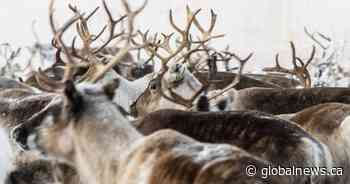 Reindeer starving as climate change affects Swedish arctic, covering it in ice