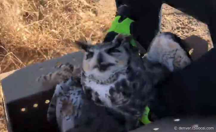 Great Horned Owl Rescued From Barbed Wire After Chasing Skunk