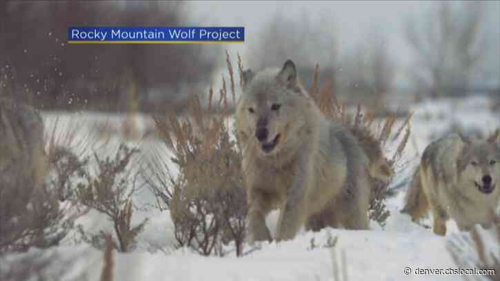 Hotly-Contest Gray Wolf Debate Could Head To Colorado Voters